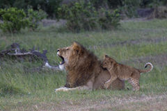 Simba Simba. Large male lion and baby cub playing Royalty Free Stock Images