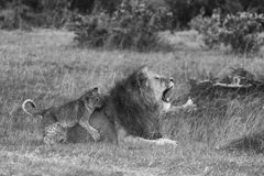 Simba Simba. Large Male Lion playing with baby cub Stock Photos