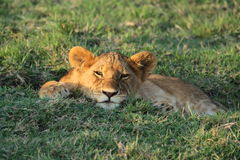 Simba Young African Lion. This is a photograph of a baby lion in the Mara, Kenya Africa Stock Photos