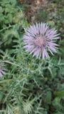 Simbolo del fiore della Scozia, fiore del cardo selvatico Immagine Stock