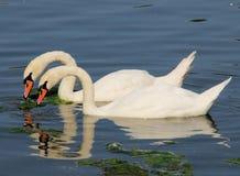 Simetría del cisne Fotografía de archivo libre de regalías