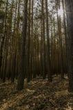 Simetrics树在森林里 库存照片