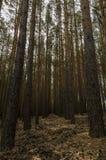 Simetrics-Bäume in einem Wald Stockfoto