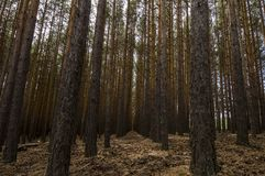 Simetrics-Bäume in einem Wald Lizenzfreies Stockbild