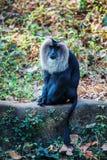Simhavalan kurangu - Lion tailed macaque in in Trivandrum, Thiruvananthapuram Zoo Kerala India. Simhavalan kurangu - Lion tailed macaque sitting and posing in in Royalty Free Stock Image