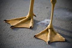 Simhudsförsedd fot för Seagull royaltyfria bilder
