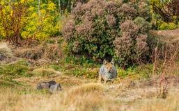 Simien Canis Wilczy simensis w bel górach obraz royalty free