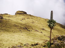 Simien mountains. Giant Lobelia in Simien National Park, on the way from Imet Gogo to Inatye Royalty Free Stock Images