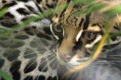 Felicia, an Ocelot, spies through brush at Toucan Rescue Ranch, a wildlife rescue facility in San Isidro de Heredia, Costa Rica. royalty free stock photo