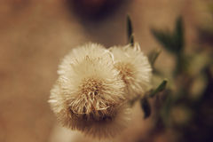 Similar to dandelion flower. A close up of plants similar to dandelion flower Stock Image