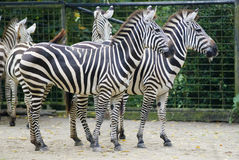 Similar zebras. Two zebras standing side by side, can you tell any difference Royalty Free Stock Image