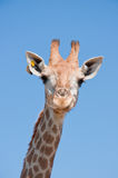 Simile giraffe. When I see its, I think that very cute and funny Royalty Free Stock Photos