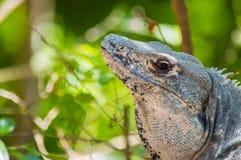 Similis de Ctenosaura d'iguane épineux-coupés la queue par mâle Image stock