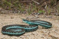 Similis de los sirtalis del Thamnophis de la serpiente de liga de Bluestripe Fotografía de archivo