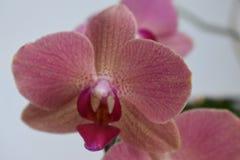 Simly härlig rosa orkidé på grå bakgrund Fotografering för Bildbyråer