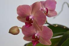 Simly härlig rosa orkidé på grå bakgrund Royaltyfri Fotografi