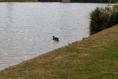Simma anden med gräs i förgrunden arkivbild
