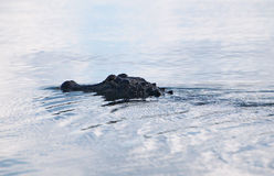 Simma den amerikanska alligatorn Royaltyfri Fotografi