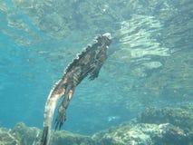 Simma den marin- leguanen, galapagos Arkivbild