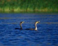 simma för cormorants Arkivbilder