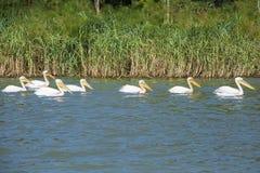 simma för pelikan Arkivbilder