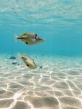 Simma för Picasso Triggerfish som är undervattens- Royaltyfri Bild