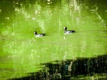 simma för två svart fåglar Arkivbild