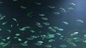 Simma f?r fisk som ?r undervattens-