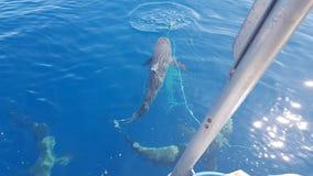 Simma med hajar Honolulu Hawaii Arkivfoton