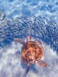 Simma med sköldpaddor Curacao sikter Fotografering för Bildbyråer