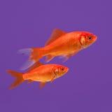 Simma orange guldfisk två på en purpurfärgad bakgrund Arkivfoton