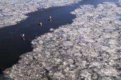 Simma, sammanträde och som går för änder på isen av Moskvafloden i November Royaltyfri Fotografi