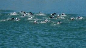 Simmare som simmar i en triathlon i en sjö stock video
