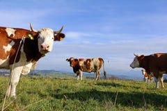 Simmental αγελάδες Στοκ εικόνες με δικαίωμα ελεύθερης χρήσης