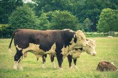 Simmental Bull и семья Стоковое Изображение RF