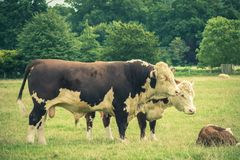 Simmental Bull and family. Close to  Lacock village, Wiltshire, England, UK Royalty Free Stock Image