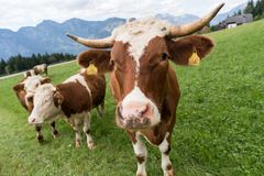 Simmental cattle stock photo