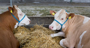 Simmental cattle in stable Royalty Free Stock Photo