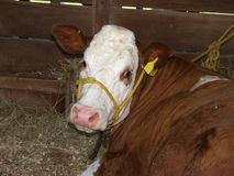 Simmental Cow Stock Photos