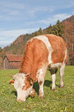 Simmental cow Stock Image