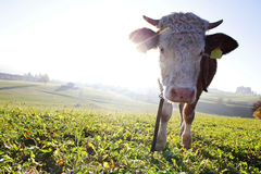 Simmental cow backlit by the evening sun Stock Photography