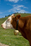 Simmental Cow with Bell Stock Images