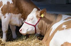 Simmental cow. Lying on the straw in the barn Stock Photography