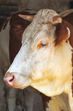 Simmental cow standing in a stall on a farm. Stock Images