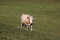 Simmental cow in Switzerland Stock Images