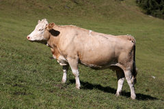 Simmental cow in Switzerland Royalty Free Stock Photos