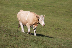Simmental cow in Switzerland Royalty Free Stock Images