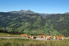 Simmental cows on a farm Stock Photos