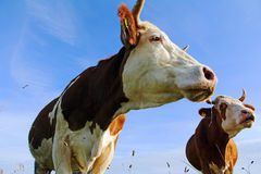 Simmental cows Royalty Free Stock Photography