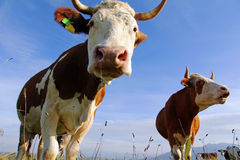 Simmental cows Stock Image